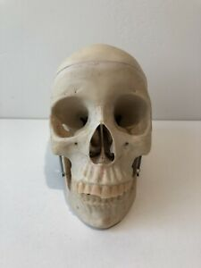 Vintage Medical Plastics Laboratory Human Skull Anatomical Model