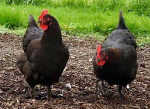 6 Black Copper Marans Fertile Hatching Eggs Npip