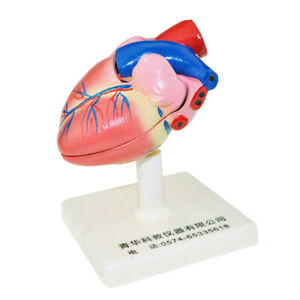 Pvc Human Heart Anatomical Model Learning Heart Structures Assembly Kit