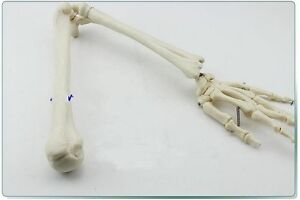 1pcs Life Size Anatomical Anatomy Arm Upper Limb Hand Skeleton Model a467 Lw
