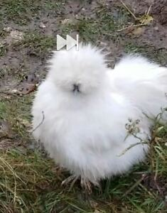 8 Sop And Designer Silkie Hatching Eggs Npip