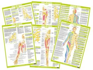 Anatomy Nervous System Charts Human Body Anatomical Wall Charts