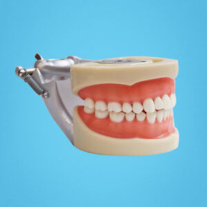 Usa Ship Dental Soft Gingiva 200h Type Removable Tooth Teeth Model Study