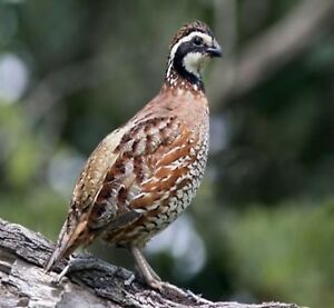 Top Breeders 24 Northern Bobwhite Quail Eggs Hatching Fertile