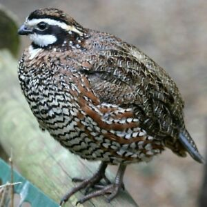 24 Jumbo Wisconsin Bobwhite Quail Eggs Fertile Hatching Mission Top Breeder