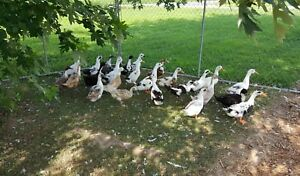 12x Ancona Duck Hatching Eggs chicken Poultry Proven Fertile Great Colors rare