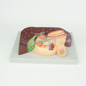 Cameo Type Human Liver And Duodenum Anatomy Model Medical Visceral Specimen
