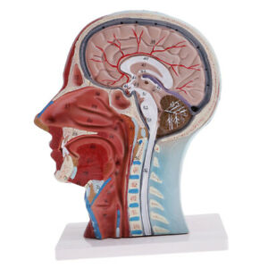 Median Section Of Human Head Neck Anatomical Model Medical Skeleton Anatomy