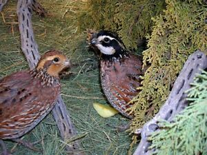 Top Breeders 48 Georgia Giant Bobwhite Quail Eggs Fertile Hatching