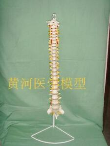 1pcs Medical Anatomical Spine Model Flexible Life Size Model stand a750 Lw