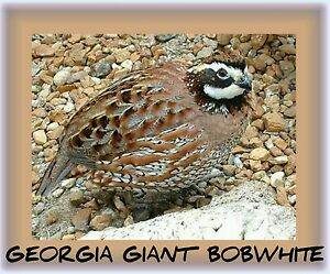 Top Breeders 100 Georgia Giant Bobwhite Quail Eggs Fertile Hatching