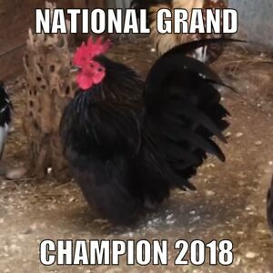6 3 Malaysian Serama Hatching Eggs Smallest Chicken Npip Champion Bloodline