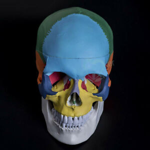 Human Skull Anatomical Anatomy Skeleton Medical Model Colored Bones