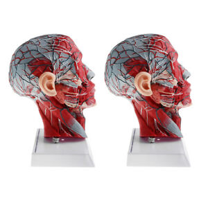 2x Sagittal Plane 1 1 Human Head Skeleton Neck Vessel Nerve Anatomical Model