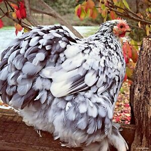 Cochin Bantam Hatching Eggs