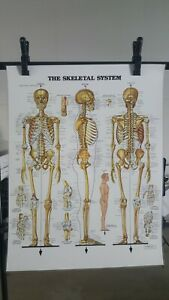 Vtg 1983 The Skeletal System Anatomical Chart By Anatomical Chart Co