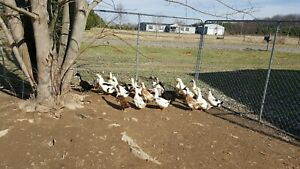 12x Rare Ancona Duck Hatching Eggs Great Colors Some Green Egg Layer Ships Free
