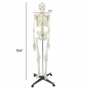 180cm 70 8 Human Anatomical Skeleton Medical Model With Rolling Stand
