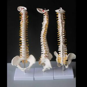 Human Flexible Spine With Pelvic High Quality Pvc Medical Science Skeleton Model
