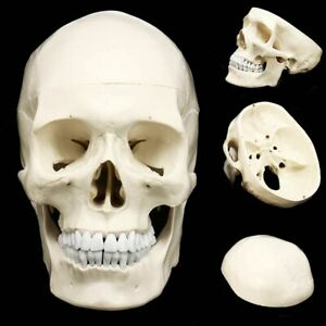 Life Size Human Anatomical Resin Head Skeleton Skull Educational Teaching Models