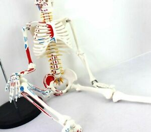 Human Skeletons Anatomical Models High Quality Pvc Manikin Educational Equipment