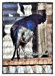 Rare 6 Pure Ayam Cemani Fertile Hatching Eggs Greenfire Farms Lines