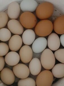 Fresh Chicken Hatching Eggs rare Breeds Bantams Easters Ayam Cemani 1 Egg