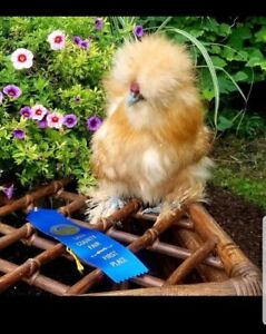 1 Egg Or More Silkie Chicken Hatching Eggs All Colors Npip