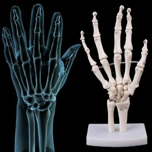 Hand Joints Anatomical Skeleton Model Human Medical Anatomy Study Tool Life Size