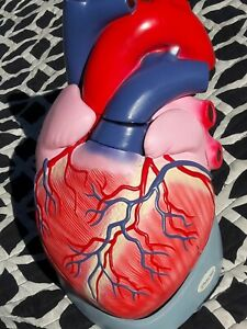 Large Human Heart Anatomical Model Diagram Anatomy Medical Med School Study Rare