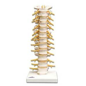 Anatomical Chart Company Anatomical Flexible Thoracic Vertebral Column
