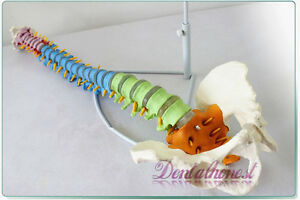 1 1 Life Size Human Anatomical Anatomy Spine Medical Model stand Fexible Newest