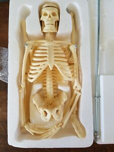 Anatomy Professional Miniature Skeleton Medical Model 19 Inch