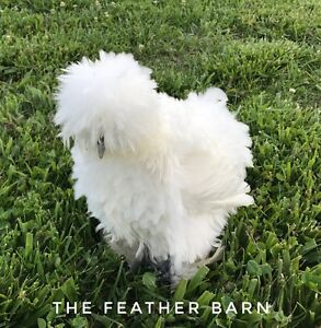 9 3 Extra Eggs Silkie Sizzle Show Girl Fertile Hatching Egg Chrysanthemum Npip