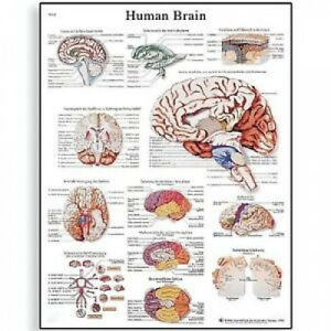 3b Scientific Human Anatomy Human Brain Chart Paper Version Shipping Included