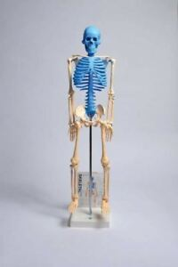 Human Skeleton Model With Fold out Guide