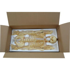 Human Anatomical Anatomy Skeleton Teaching Model Stand 170cm