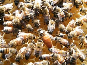 Mated Vsh Queen Bee Italian Survivors Treatment Free Open Mated