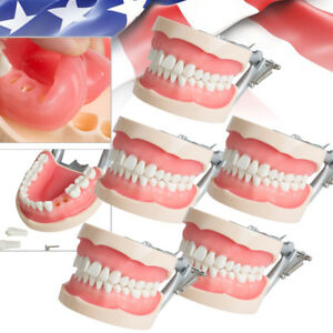 5 dental Standard Model Removable Teeth Universal Plate Articulated Study Usship