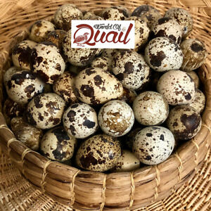 60 Coturnix Quail Fertile Hatching Eggs Different Colors read Desc free Ship