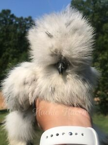 7 Bearded Blue And Splash Silkie Hatching Eggs Chicken Hatching Eggs Bantams
