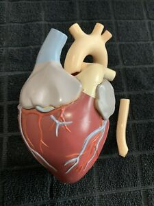 Vintage 1959 Merck Anatomical Heart Model