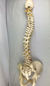 Human Spine With Pelvis Model Human Anatomical Anatomy Spine Model Educational