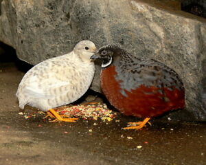 10 Button Quail Hatching Eggs Darth Vader Rare Colors Kept In separate Groups