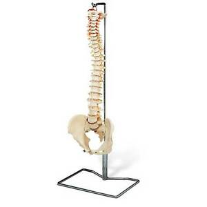 Anatomical Chart Budget Vertebral Column With Stand Ideal Teaching Model