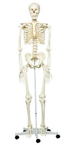 Anatomical Model Stan The Classic Skeleton On Roller Stand 1 Ea