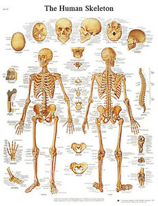Anatomical Chart Human Skeleton Laminated 1 Ea