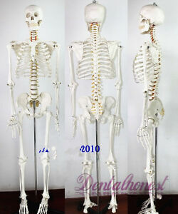 170cm Life Size Man Human Anatomical Anatomy Skeleton Medical Model With Stand