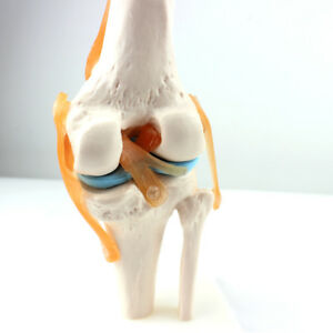 1 1 Knee Joint Model Human Skeleton Anatomy Study Display Teaching Medical