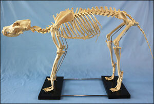 Anatomical Large Dog canine Skeleton Model Medical Veterinary Anatomy